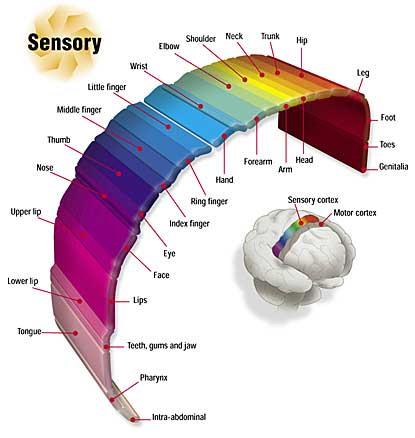 Brain Sensory Cortex
